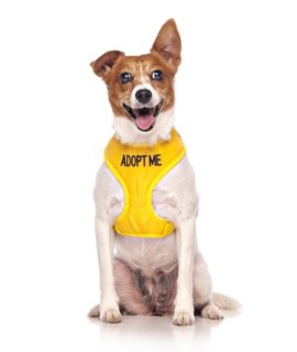 Adopt Me Dog Vest (yellow)