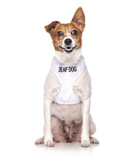 Deaf Dog Vest (white)