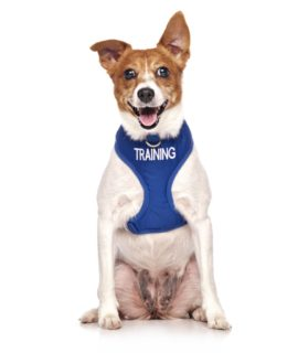 Training Dog Vest (blue)